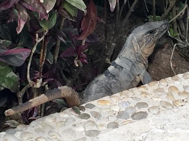 iguana?